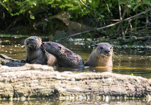 wlds47_otters_1073x744