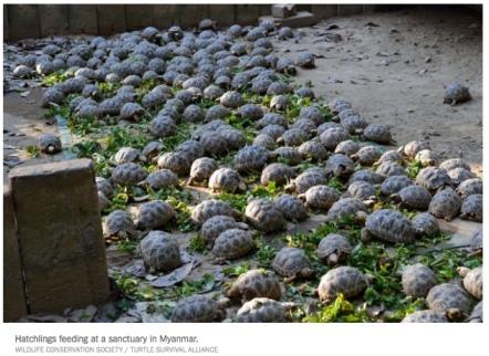 turtles in myanmar