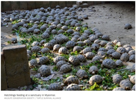 turtles in myanmar