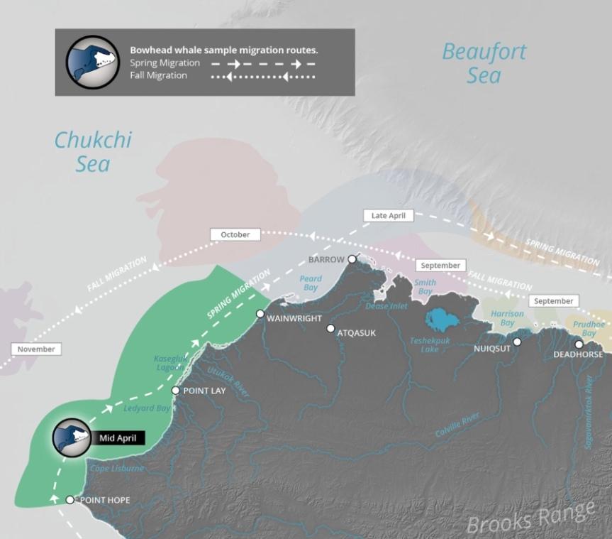 bowhead migration