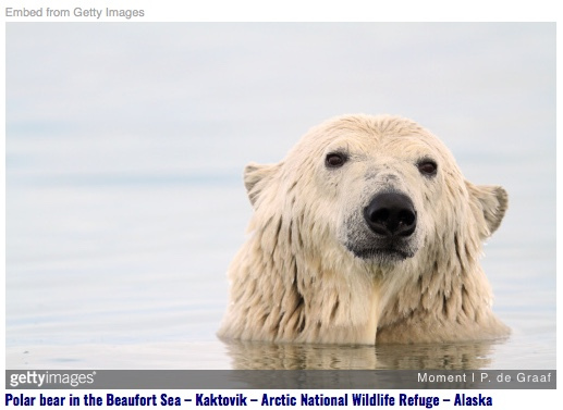 """Fri 12/14: """"Once upon a time, there were bears as white as ice…"""" – Deadline to stop arctic drilling, Dec.17th."""