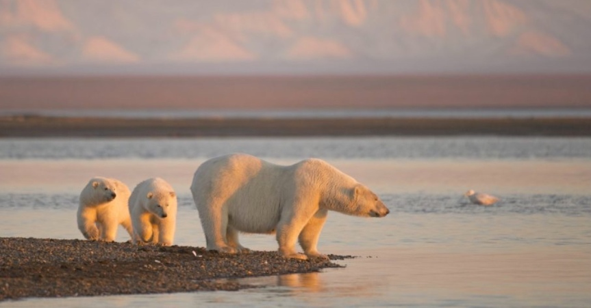 Thurs 1/7: Save Polar Bears From Seismic Testing – DEADLINE TODAY – 11:59 pm EST!